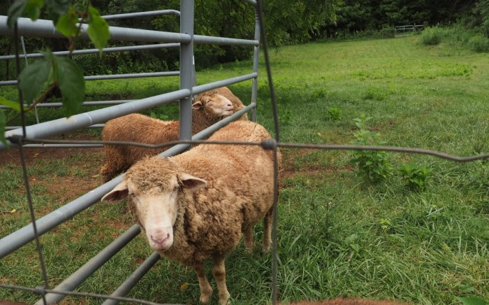 cropped sheep.jpg